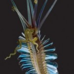Spindly new species found in Philippine's oceans