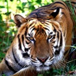 Fire uncovers tigers in Philippine house