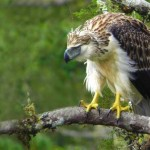 Trapping threatens near-extinct Philippine eagle