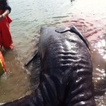 'Exceptionally rare' conjoined whales found in Mexico