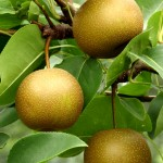 Eating Asian pears before drinking could head off hangovers: study